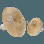 Lactarius resimus
