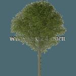 large-leaf linden