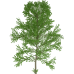 European aspen