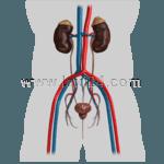 urinary organs