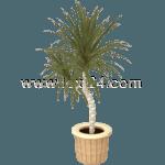 Drachenbaum<sup>M</sup>