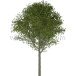 large-leaf linden