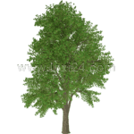 European white elm