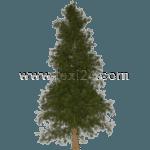 Riesen-Lebensbaum